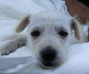 """Baby Female Dog - Jack Russell Terrier: """"Merry"""""""