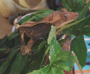 "Young Female Scales, Fins & Other - Gecko: ""Rango"""
