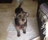 "Young Female Dog - Schnauzer-Terrier: ""Maya"""