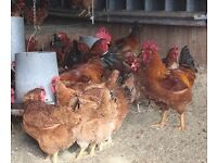 15 Novogen egg layers chickens and babies for sale £12 each