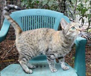 Gorgeous 7 month female rescue tabby kitten