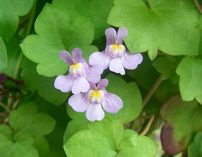 100 KENILWORTH IVY Ivy-Leaved Toadflax Vine Flower ...