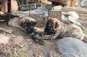 German Shepherd/Husky x Rottweiler Puppies for Sale!!