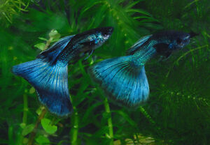 Moscow Blue Guppies