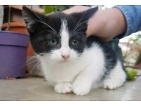 Black white female girl kitten cat with cutr pink nose