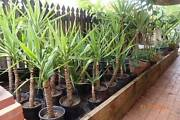 Cheap healthy yucca plants in pots - Brinsmead Brinsmead Cairns City Preview