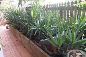 Yucca - large plants in plastic and ceramic pots - Brinsmead Brinsmead Cairns City Preview