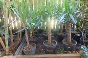 Bulk healthy cheap potted Yucca plants -Brinsmead Brinsmead Cairns City Preview