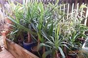 Cheap Yucca plants in pots for your garden - Brinsmead Brinsmead Cairns City Preview