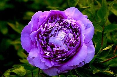 20 Seeds Chinese Purple Peony Flower Seed ...