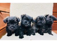 Beautiful Fluffy Terrier Puppies - ready 14th May