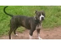 3YR OLD STAFF NEEDS FAMILY HOME. GREAT WITH KIDS, FAB HOUSE DOG, NEEDS REGULAR LONG WALKS.