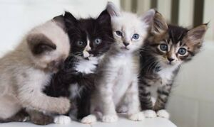 ( WANTED) looking for HYPOALLERGENIC kittens!!