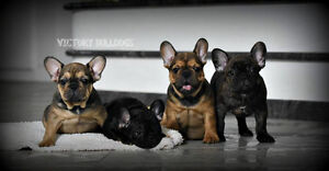 Top Quality CKC Reg'd French Bulldog Puppies Blue and Standards London Ontario image 5