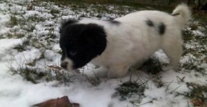 coton de tulear Puppy FEMALE