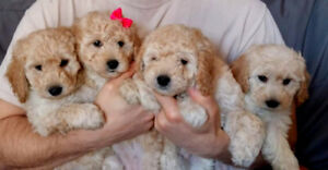GORGEOUS  Apricot  Miniature  POODLE Puppies   Pure Bred 1 LEFT