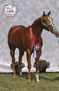 Registered AQHA 7 Year Old Show Mare