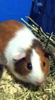 Female Guine Pig...About 6 months old