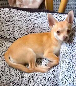 Chihuahua – gold colour pedigree