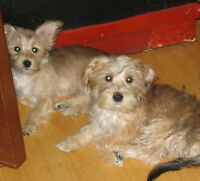 SWEET TOY SIZE MORKIE PUPS