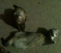 2 Ferrets - Must Go Together