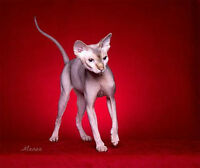 Retired Sphynx for Adoption