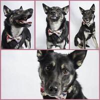 """Senior Female Dog - Husky-Shepherd: """"Beauty (in foster care)"""""""