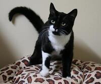 "Baby Female Cat - Domestic Short Hair-black and white: ""River"" Ottawa Ottawa / Gatineau Area Preview"