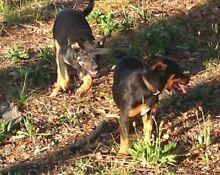 Kelpie pups for sale Armidale 2350 Armidale City Preview