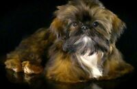 Shih Tzu Imperial (Miniature)  Pure C.K.C./ C.C.C.  * VIDEO *