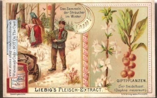 Daphne Plant Drug Medicine Poison Das Straucher Pharmacy 1903 Trade Ad Card G - $9.99