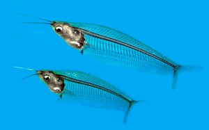 NEW: Glass Catfish @NanoTanksAustralia Silverwater Auburn Area Preview