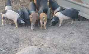 Piglets for sale $50 each Lowood Somerset Area Preview
