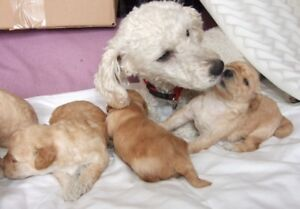 Miniature APRICOT POODLE PUPPY for SALE  Vet  PURE BRED 1 SOLD