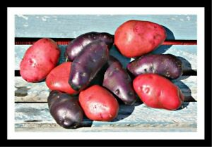 Fancy SEED Potatoes, unusual colours, great taste! LIMITED