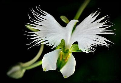 50pcs White Egret Orchid (Habenaria Radiata) Flower Seeds