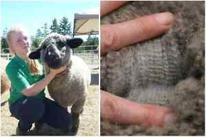 Two Yearling Ewes: for Breeding & Wool