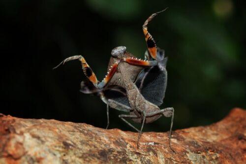Praying Mantis Malaysian Dead Leaf LIVE (1)one (Deroplatys.lobata) L3