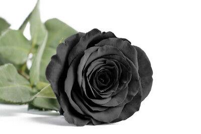Semillas de Rosa Rosal NEGRA BLACK ROSE SEEDS flor color colour iphone...