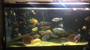 100 gal peacock and hap cichlid set up