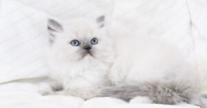 Beautiful Colour Point Persian Kittens for Adoption