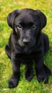 Wanted: black lab or husky pup/dog