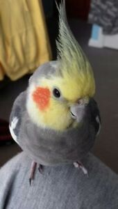"""""""❤★❤ Cockatiiels with Cage❤★❤"""""""