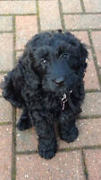 Looking for a black cockapoo