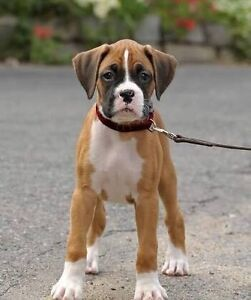Want to buy male boxer puppy Epping Whittlesea Area Preview