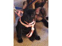 14 Week Old French Bulldog Female Puppy