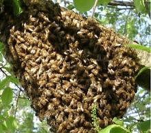 Swarm collection Lathlain Victoria Park Area Preview