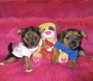 Chiots yorkshire cr
