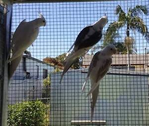 COCKATIELS MATURE MALES BEST OFFER for the 5 birds Bankstown Bankstown Area Preview