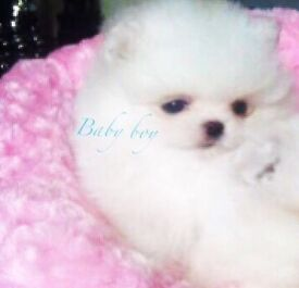 Pedigree Pomeranian Male Puppy In White. Small Size. Very Short Face.